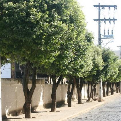 Árvores Malai - Oiti - Tronco