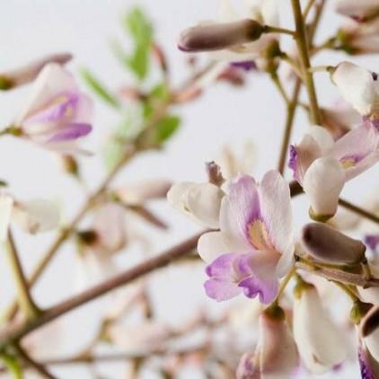 Árvores Malai - Sucupira Branca - Flores