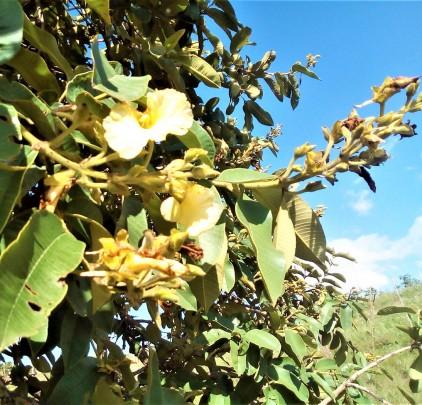 Árvores Malai - Pau Terra - Flores