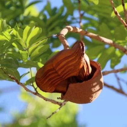 Árvores Malai - Timbó - Sementes e Frutos