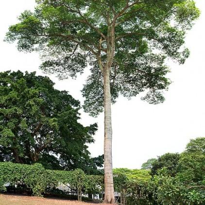 Árvores Malai - Jatobá da Mata