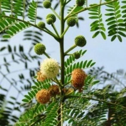 Árvores Malai - Leucena - Flores