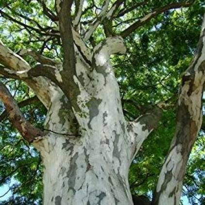 Árvores Malai - Pau Ferro - Tronco