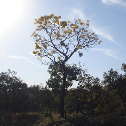 Árvores Malai - Para Tudo - Tronco