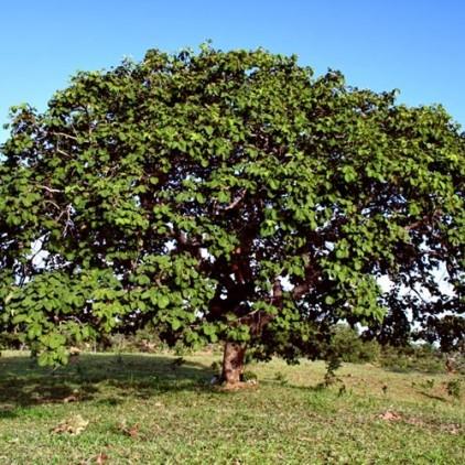 Árvores Malai - Pequizeiro - Tronco