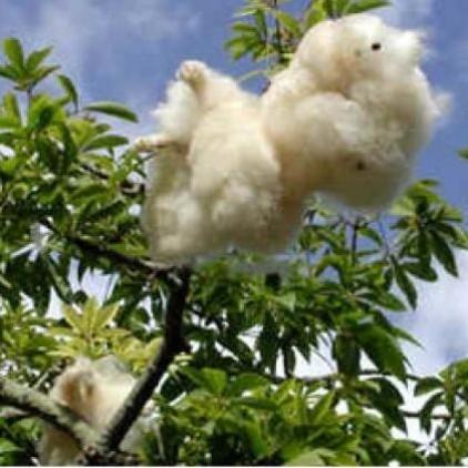 Árvores Malai - Paineira Rosa - Sementes