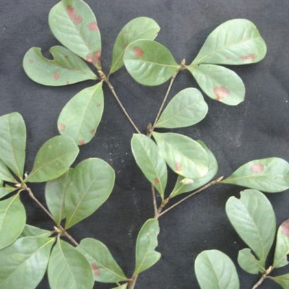 Árvores Malai - Tarumarana - Folhas