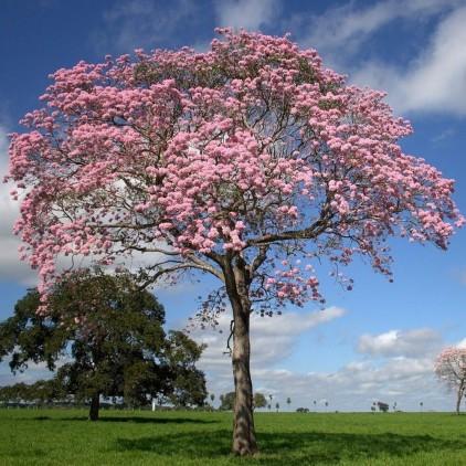 Árvores Malai - Ipê Rosa (Tronco)