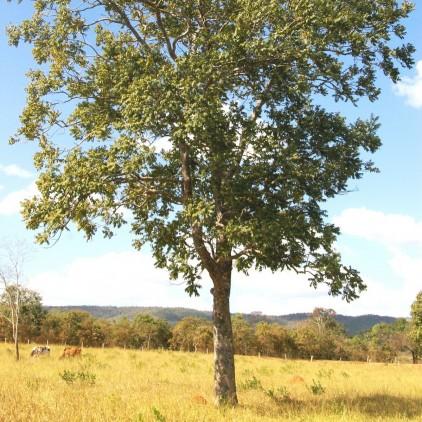 Árvores Malai - Gonçaleiro (Frutos)