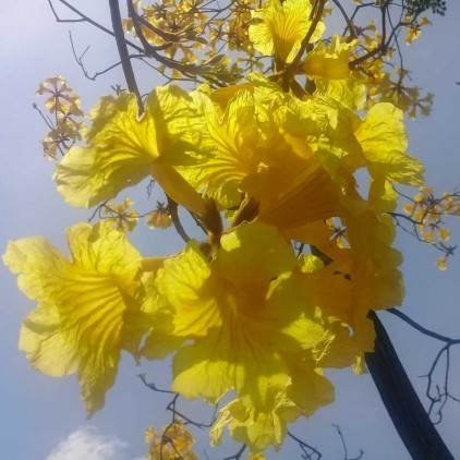 Árvores Malai - Ipê Amarelo Felpudo