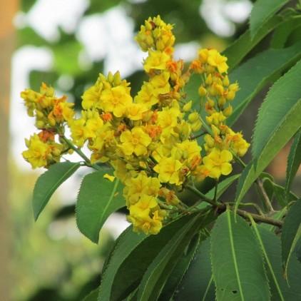 Árvores Malai - Folha Serra (Floração)